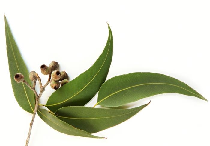 Scoperte tracce di oro sulle foglie di eucalipto
