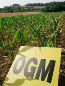 Nuove ricerche sull'impatto degli OGM sulla salute